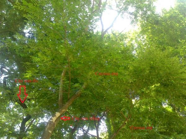 Thân cây sưa đỏ và sưa trắng