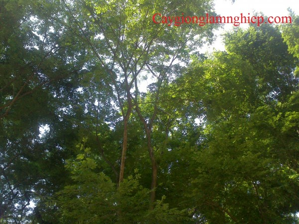 Sưa trắng tại công viên Bách Thảo, lá sưa trắng