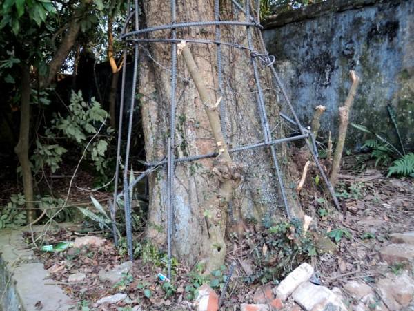 Gốc cây sưa đỏ được phủ lớp sắt chắc chắn, gốc huỳnh đàn, gốc trắc thối