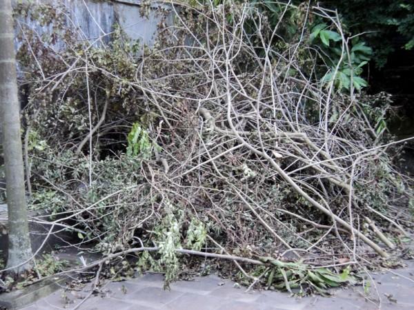 cành lá còn lại của cây sưa đỏ bị trộm ở Chương Mỹ