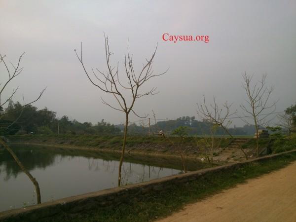 cây sưa đỏ dễ sống, trồng ven ao