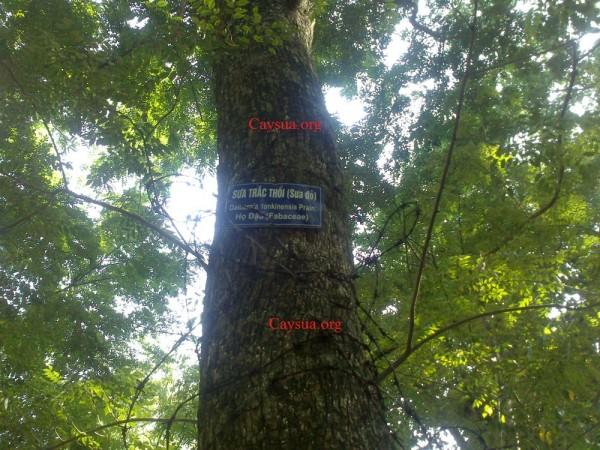 gỗ sưa trăm tỷ công viên bách thảo, gỗ sưa đỏ