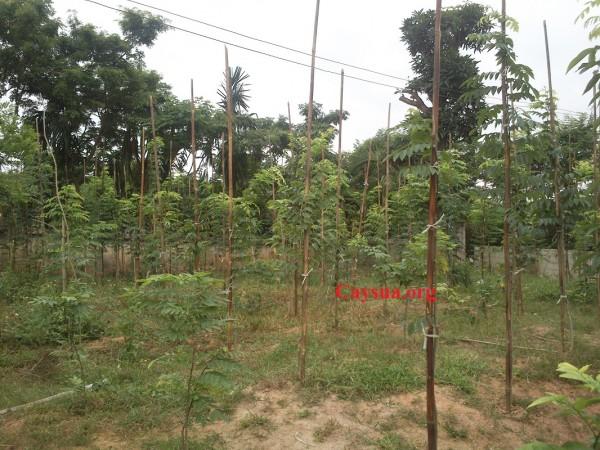căm cọc trồng cây sưa đỏ, kỹ thuật trồng cây sưa đỏ