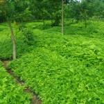 trồng cây sưa đỏ hiệu quả kinh tế cao